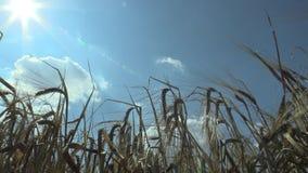 De gebieden met gerst Hordeum vulgare rijpen bio gouden uitgebreid gekweekt detailoor en klasse, zonsondergang en stralen blauwe  stock videobeelden