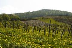 De gebieden Moezel van de wijn Royalty-vrije Stock Fotografie