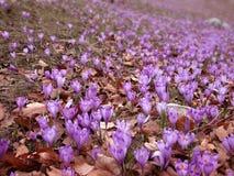 De gebieden van de krokus in de lente Stock Afbeeldingen