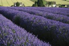 De gebieden van de lavendel Royalty-vrije Stock Afbeeldingen