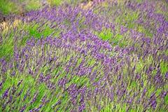 De gebieden van de lavendel Royalty-vrije Stock Afbeelding
