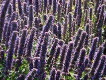 De Gebieden van de lavendel Stock Fotografie
