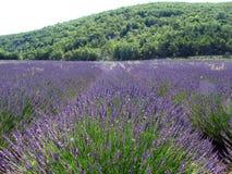 De gebieden van de lavendel voor essentiële oliën royalty-vrije stock afbeeldingen
