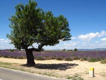 De gebieden van de lavendel voor essentiële oliën stock afbeelding