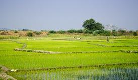 De gebieden van de padie in India Stock Afbeelding