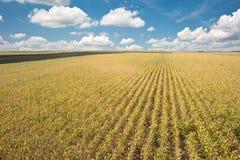 De gebieden van de sojaboon vóór oogst Royalty-vrije Stock Foto