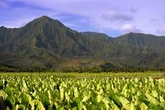 De Gebieden van de taro stock afbeelding