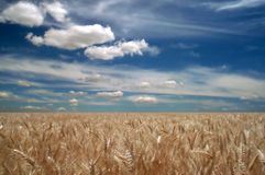 De gebieden van de tarwe Stock Foto