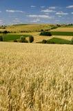 De gebieden van de tarwe royalty-vrije stock foto's