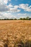 De gebieden van de tarwe Royalty-vrije Stock Foto