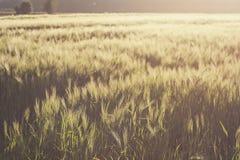 De Gebieden van de tarwe in de Zomer stock foto's