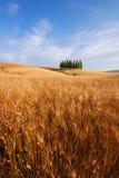 De gebieden van de tarwe in Toscanië Stock Afbeeldingen