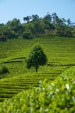 De Gebieden van de thee Royalty-vrije Stock Afbeeldingen