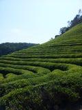 De Gebieden van de thee Stock Afbeeldingen