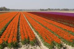 De gebieden van de tulp stock afbeeldingen