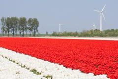 De gebieden van de tulp met windturbines Stock Fotografie