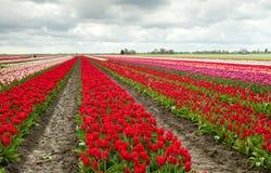 De gebieden van de tulp in Schagen Royalty-vrije Stock Foto's