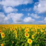 De gebieden van de zonnebloem onder blauwe hemel Royalty-vrije Stock Foto
