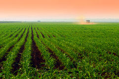 De gebieden van het graan bij zonsondergang royalty-vrije stock fotografie