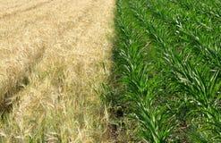 De gebieden van het graan en van de tarwe Stock Foto