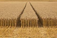 De gebieden van het graan met graan klaar voor oogst stock afbeelding