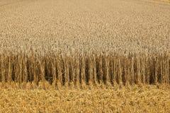 De gebieden van het graan met graan klaar voor oogst royalty-vrije stock fotografie