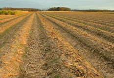 De gebieden van het suikerriet Stock Fotografie