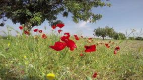 De gebieden van de papaverbloem plaatsen op een blauwe hemelachtergrond in een glorierijk Spaans hemelzonlicht stock video