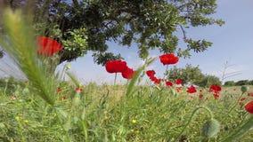 De gebieden van de papaverbloem plaatsen op een blauwe hemelachtergrond in een glorierijk Spaans hemelzonlicht stock videobeelden