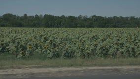De gebieden van de wegreis met zonnebloemen slepen voorbij de venster langzame motie mee stock videobeelden