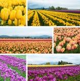 De gebiedencollage van de tulp Stock Fotografie