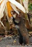 De gebiedshamster verzamelt maïs Royalty-vrije Stock Afbeelding