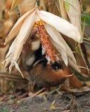 De gebiedshamster verzamelt maïs Stock Afbeelding