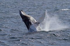 De gebocheldewalvis van Antarctica het pronken met Royalty-vrije Stock Afbeeldingen