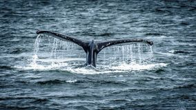 De gebocheldewalvis verdwijnt in de oceaan royalty-vrije stock afbeelding