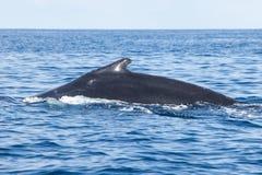 De gebocheldewalvis zwemt aan Oppervlakte van de Caraïben Royalty-vrije Stock Foto's
