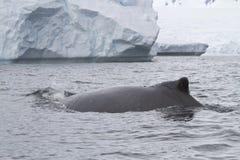 De gebocheldewalvis zwemt dichtbij een dag van de ijsbergherfst Royalty-vrije Stock Afbeelding