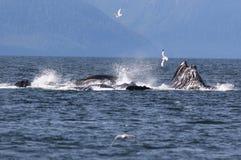 De gebocheldewalvissen borrelen het Netto Voeden stock afbeeldingen