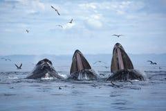 De gebocheldewalvissen vallen het Voeden uit stock foto's