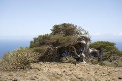 De gebogen boom van de jeneverbes, Gr Hierro, Canarische Eilanden Royalty-vrije Stock Afbeelding