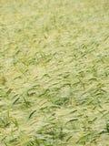 De gebogen textuur van het tarwegebied. Stock Fotografie
