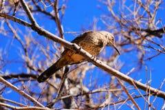 De gebogen vogel van rekeningsthrasher op een tak royalty-vrije stock afbeelding