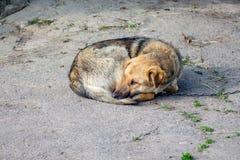 De gebonden hond die is in binnenplaats liggen Het dier in gevangenschap is sad_ stock fotografie