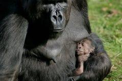 De geboorte van de gorilla Stock Foto