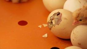 De geboorte van een kip in een incubator stock videobeelden