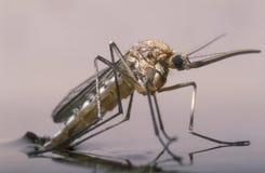 De geboorte van een vrouwelijke mug stock foto's