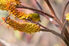 De gebrilde Weverszitting op geel aloë krijgt nectar Stock Foto