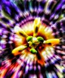 De geconcentreerde lavendel royalty-vrije stock afbeelding