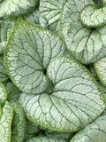 De gedetailleerde bladeren van de bloeiende installatie van Brunnera royalty-vrije stock foto's