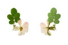 De gedrukte en Droge bloemwildernis nam toe Geïsoleerdj op witte achtergrond Stock Foto